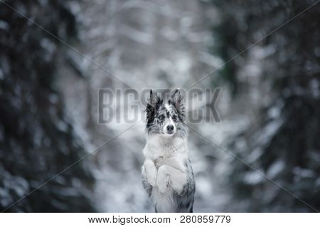 portrait of a dog in the winter in the forest. obedient marble border collie. Walking in nature with a pet poster
