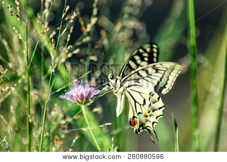 Butterfly Papilio Machaon, Also Old World Swallowtail, Common Yellow Swallowtail Or Swallowtail. Thi