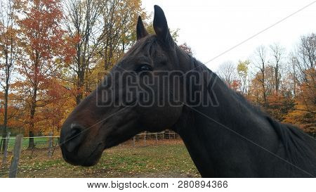 Closeup Of Dark Bay Thoroughbred Gelding Looking To The Left Of Paddock, Ears Alert And Head Up With