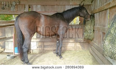 Dark Bay Thoroughbred Gelding Eating Out Of Hay Net In Outdoor Wooden Shelter On A Sunny Summer Day.