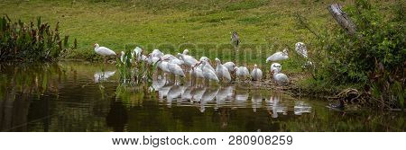 Panoramic Nature Banner Of A Flock Of Ibises Reflecting In A Florida Marshy Pond