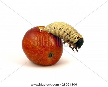 Giant worm in an apple