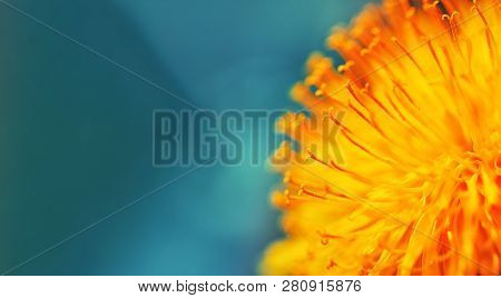 Yellow Dandelion Flower Close Up, Macro, Spring Background. Closeup Of Yellow Spring Flowers On The