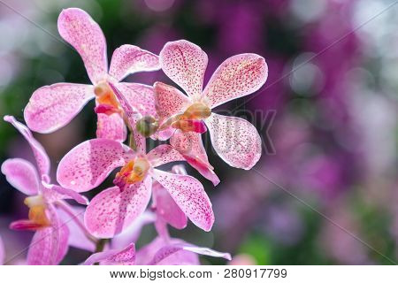 Orchid Flower. Mokara Orchid. Flower In Garden At Sunny Summer Or Spring Day. Flower For Postcard Be