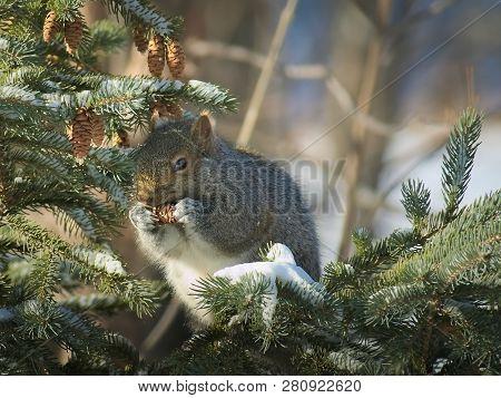 Gray Squirrel - Sciurus Carolinensis - Eastern Gray Squirrel Or Grey Squirrel, Closeup On Spruce Bra