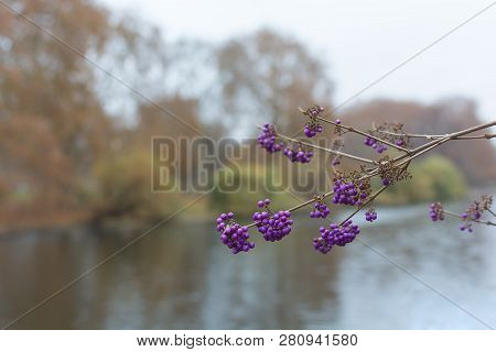 Purple Berries Callicarpa Bodinieri Or Giraldii Profusion Branch On The Background Of The Fall Garde