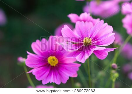 Closeup Beautiful Pink Cosmos Flower In The Field, Selective Focus