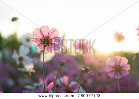 Closeup Beautiful Pink Cosmos Flower In The Field With Sunlight At Morning, Selective Focus