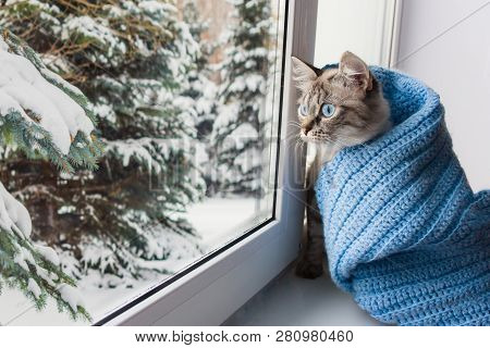 Cute Flaffy Cat With Blue Eyes Covered In Knitted Blue Scarf , Sitting On A Window Sill And Watching