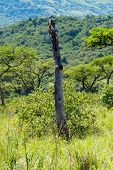 The trunk of a dead and weathered tree in contrast to the green African bush in the Natal Midlands, South Africa. poster