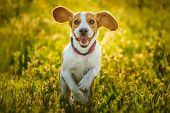 Dog Beagle having fun with a stick on a green field during spring runs towards camera t-shirt