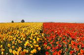 """Magnificent field of yellow and orange buttercups on a sunset, photographed by an objective """" the Fish eye """" poster"""