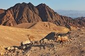 Family wild mountain goats in magnificent stone desert. Israel, mountains of Eilat, coast of Red sea poster