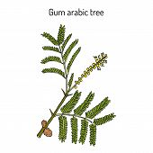 Gum arabic tree Acacia senegal , or Kher, medicinal plant. Hand drawn botanical vector illustration poster