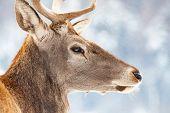 noble deer male in winter snow  poster
