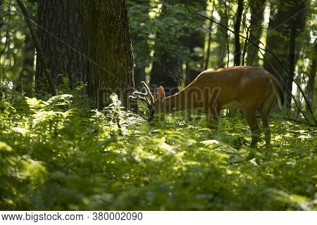 Young White Tailed Deer With Growing Antlers In Velvet.natural Scene From Wisconsin.