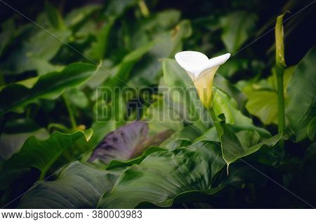 White Calla Lily Flower Alone In A Small Water Pond Full Of Green Leaves