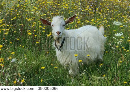 White Goat Outdoors. Goat Standing In Farm Pasture. Nature, Farm, Animals Concept. Meadow And Goat.