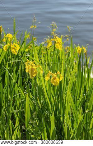 Yellow Flag Iris (iris Pseudacorus). Called Yellow Iris, Water Flag, Paleyellow Iris And Lever Also.