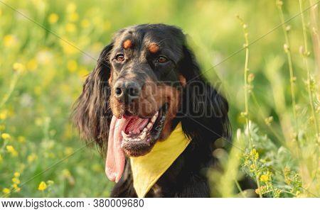 Gordon setter walking outdoors on field