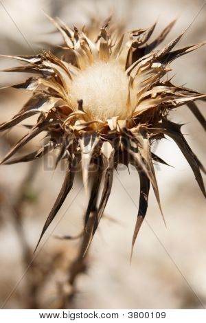 Cotton Thistle From Andalucia