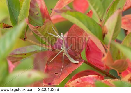 Pale Green Praying Mantis Hiding On A Plant With Bright Pink And Green Leaves While It Waits For Ano