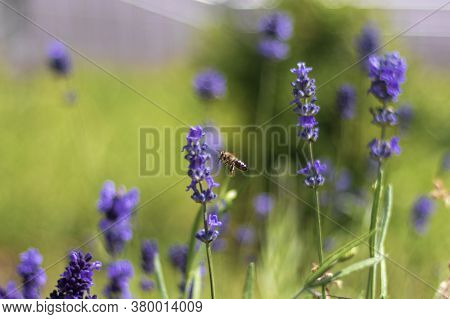Lavender Blooms And A Bee With A Shallow Dof. Summer. The Bee Pollinates Flowers And Collects Nectar