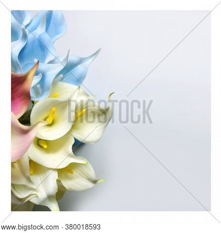 Blue calla lilies on a white background. St. Valentine's Day. Beautiful blue flowers