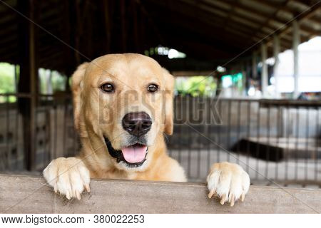 Brown Golden Retreiver Dog Stood And Wait Over The Cage
