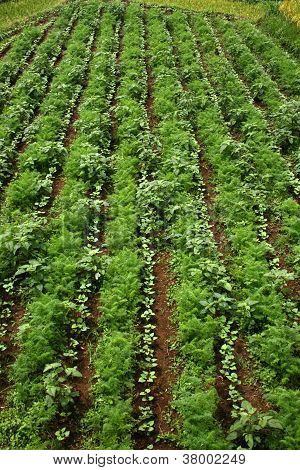 field vegetable crops