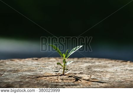New Life Growth Future Concept , A Strong Seedling Growing In The Old Center Dead Tree , Concept Of