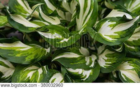 The Texture Of The Hosta Leaves. Natural Floral Ornament. Selective Focus.