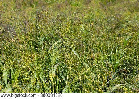Close Up Of Little Millet Stalk With Grains. Millet Is Used As Food, Fodder And For Producing Alcoho