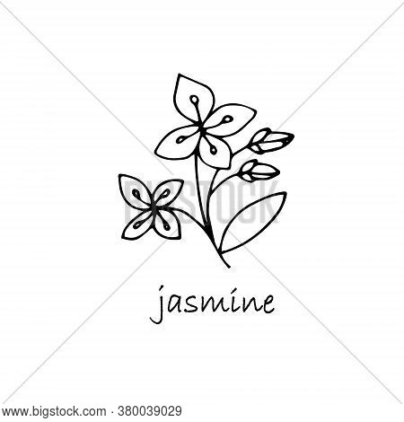 Jasmine Plant Sketch. Hand Drawn Ink Art Design Object Isolated Stock Vector Illustration For Web, F