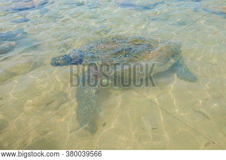 Olive Turtle (lepidochelys Olivacea) In Shallow Water. Sri Lanka