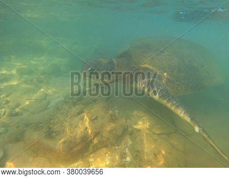 Sea Olive Turtle (lepidochelys Olivacea) Underwater. Sri Lanka