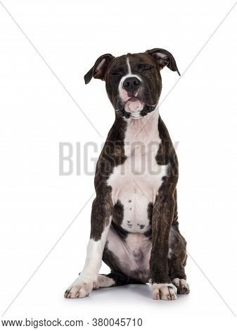 Young Brindle With White American Staffordshire Terrier Dog, Sitting Up Facing Front With Eyes Firml