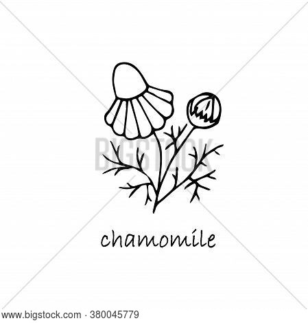 Chamomile Plant Sketch. Hand Drawn Ink Art Design Object Isolated Stock Vector Illustration For Web,