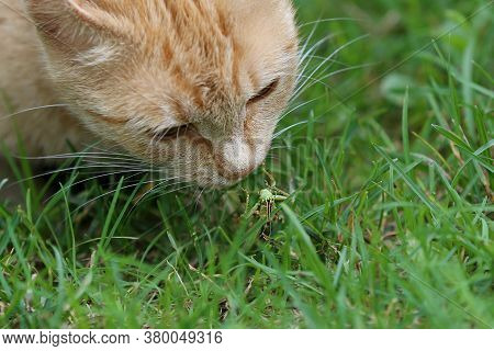 A Ginger Read Head Cat Hunting For Grasshopper On The Green Grass Background Close Up Taken. A Grass