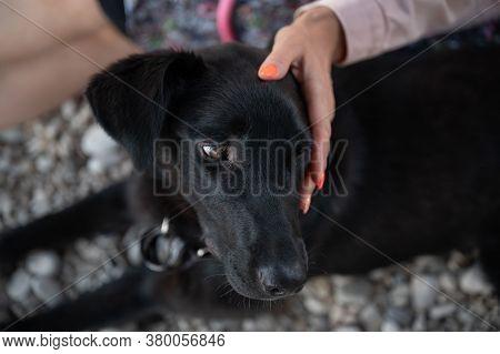 Closeup View Of A Woman Patting Her Beautiful Black Shepherd Dog Lying Next To Her.