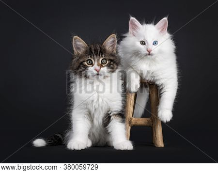 Cute Black Tabby Blotched With White And Solid White Odd Eyed Norwegian Forestcat Kittens, Sitting /