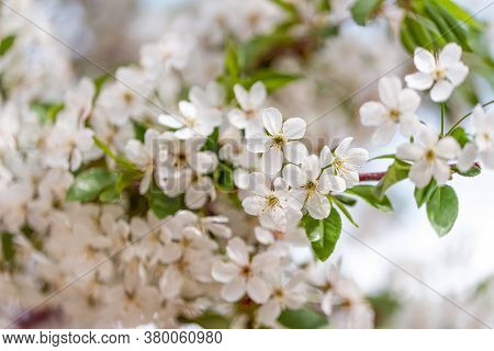 Cherry Flowers Blossom. Blossoming Cherry Branch With White Flowers