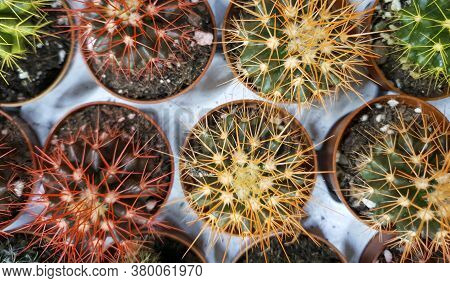 Different Cacti On Sale In The Store, Cacti Of Different Sizes, Different Colors