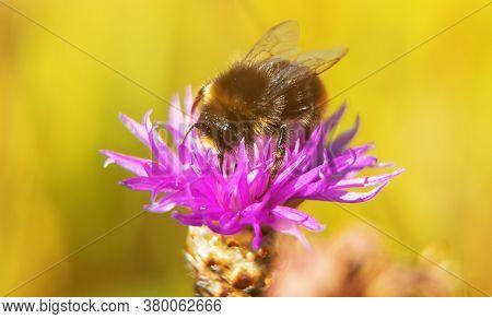Macro Shot Of Bumblebee On The Pink Flower.