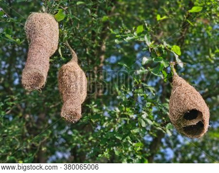 Village Weaver Bird's Nests In Northern Thailand