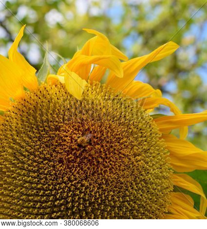 Sunflower Under Sun Rays And A Bee Collecting Nectar On A Summer Day