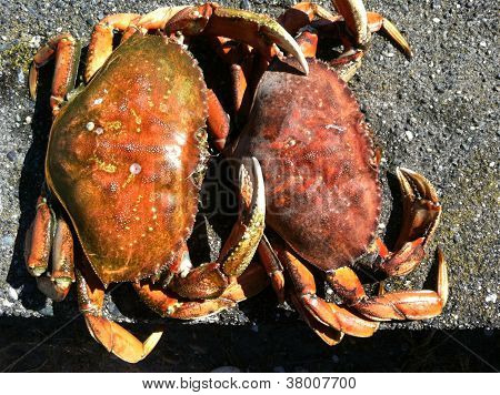 Two Dungeness Crab embracing on sandy pebble beach poster