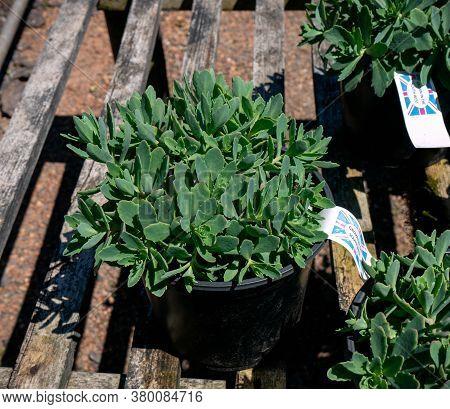 Sedum Pure Joy Stonecrop Plant In Plastic Pot For Sale In The Homeleigh Nursery Garden Center, Credi