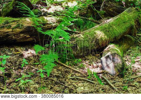 An Old Fallen Tree In The Woods.an Old Tree Overgrown With Moss.fallen Tree