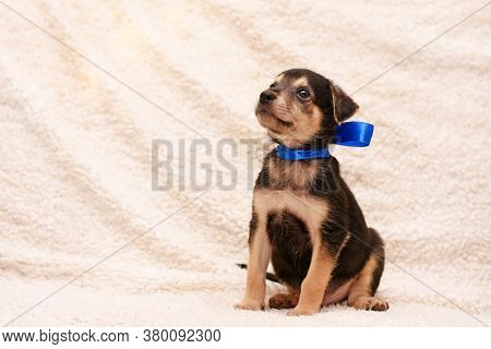 Cute Puppy With A Blue Ribbon Around The Neck Sits On A White Fluffy Blanket. The Puppy Looks Up.